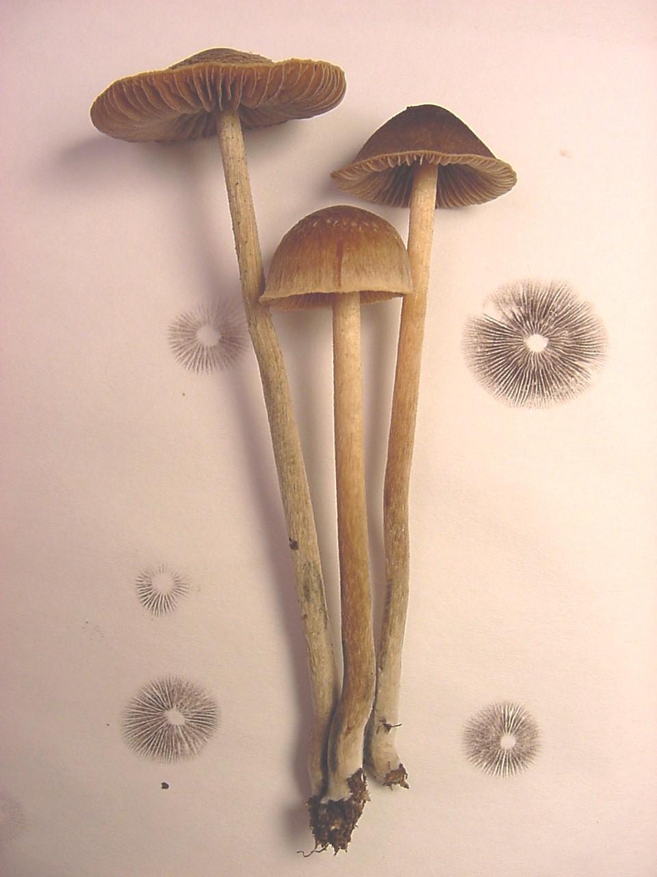 decorative display of psilocybe mushrooms, pink background with black cap prints