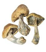 cambodian cubensis magic mushrooms dried product image