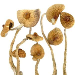 golden teacher magic mushrooms dried product image