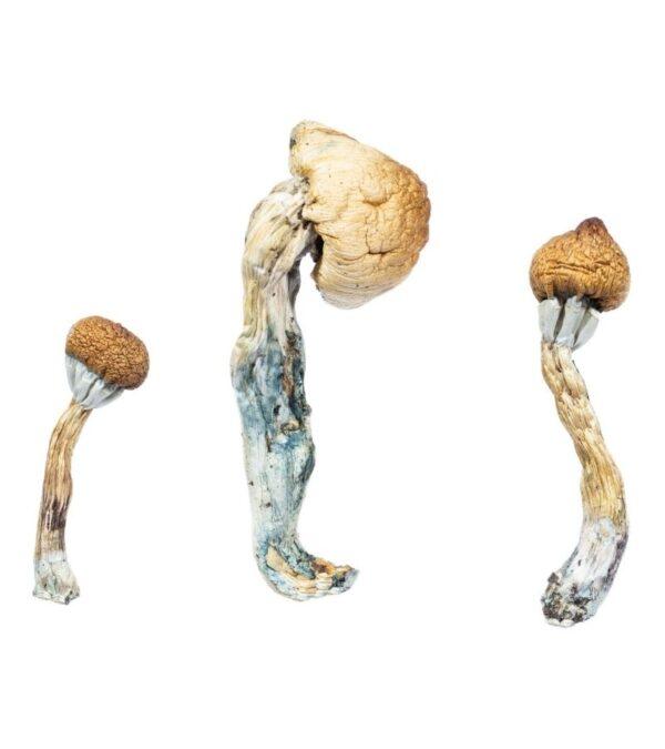 penis envy dried magic mushroom product image